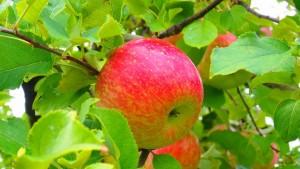 木になっているリンゴ
