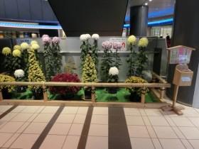 ヒカリエでの菊花展