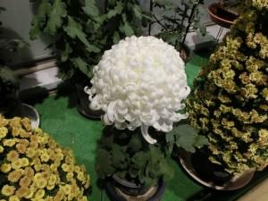 白い大輪の菊