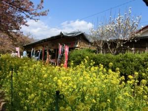 菜の花と売店