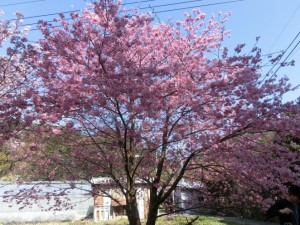 河津来宮神社の桜