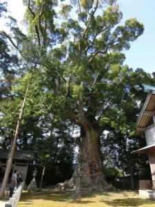 河津来宮神社の楠