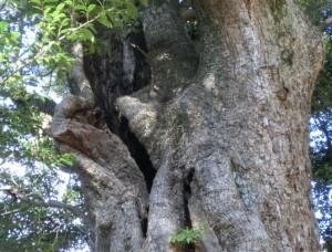 河津来宮神社の楠の木の割れ目