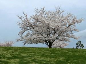 1本の桜の木
