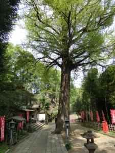 津田薬師堂の境内の木